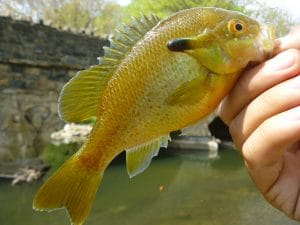 April 21st, 2012 - Redbreast Sunfish - Tacony Creek