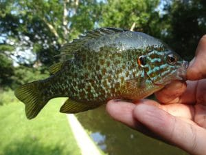 July 10th, 2013 - Pumpkinseed - Tookany Creek