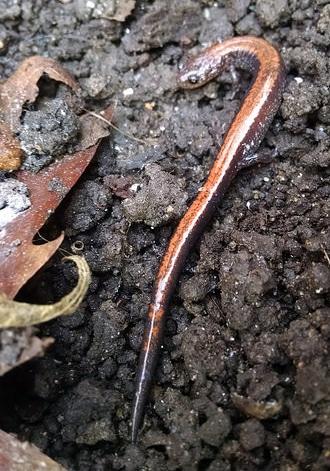 salamander cr1