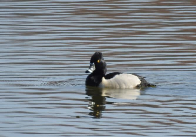 Ring-necked Duck (1)